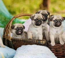 Pug puppies posing for the camera