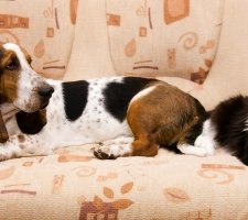 Basset Hound and the cat are looking at each other
