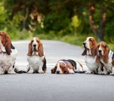 Five Adult Basset Hounds