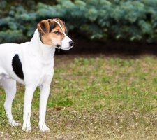 Fox Terrier photo 1