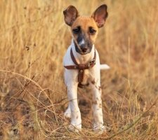 Fox Terrier photo 8