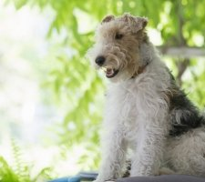 Fox Terrier photo 3
