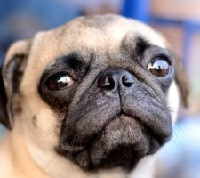 The piercing gaze of a pug