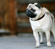 Pug is waiting for the owner