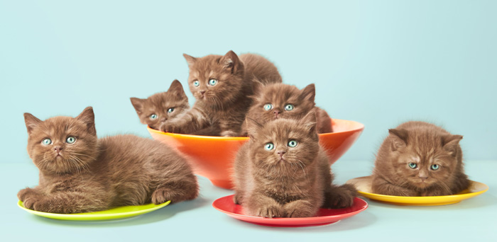 Brown british kittens