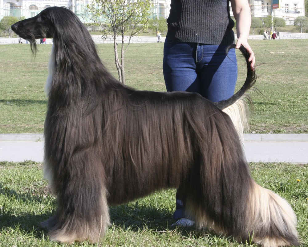 Hairstyle of the Afghan Hound