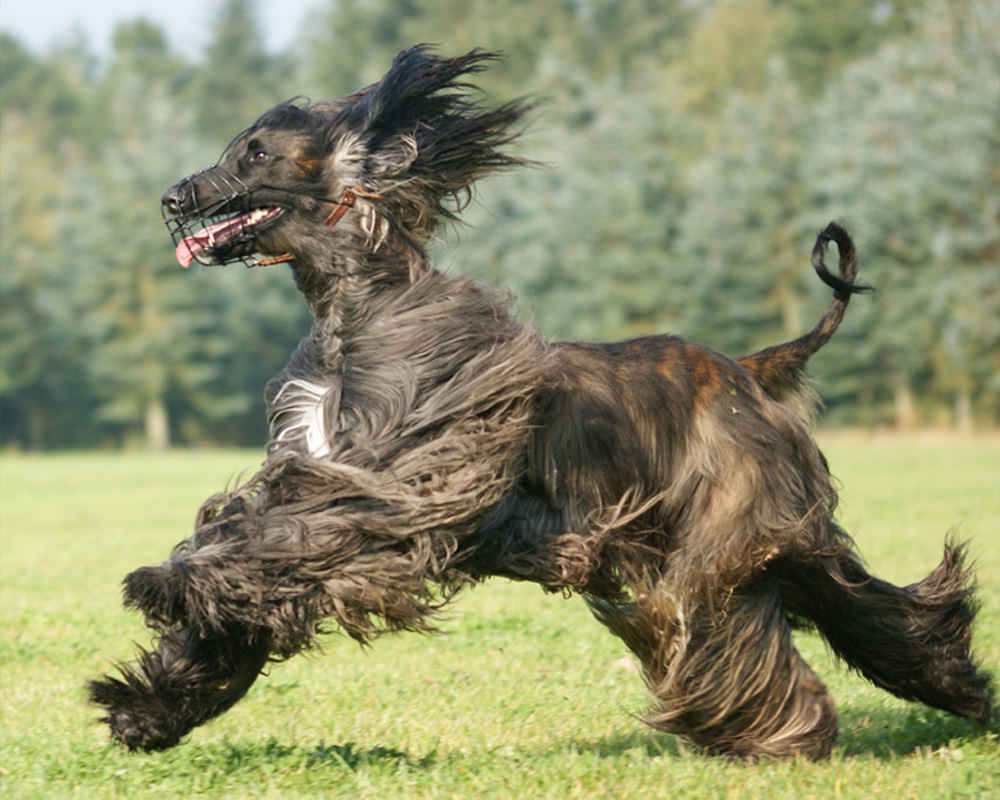 Afghan hound in a muzzle