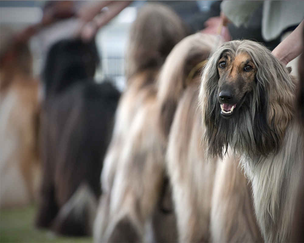 Afghan Hound at the exhibition