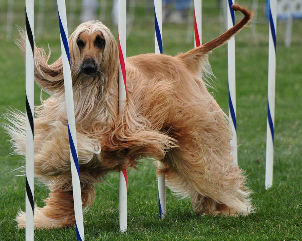 Afghan Hound in Competition