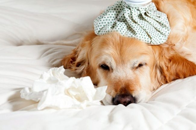 Dog allergies are often accompanied by weakness and general malaise.