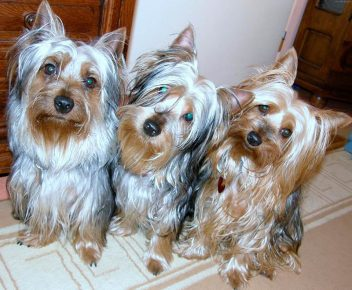 silky terrier and other animals