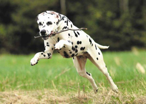 Dalmatian runs with a stick in his mouth
