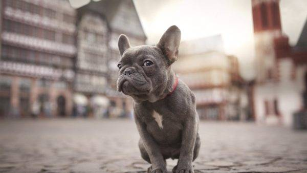 French Bulldog sits