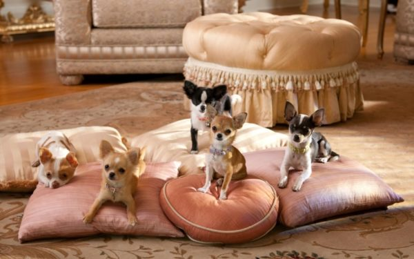 Chihuahua. Pros and cons of the breed. Read the article