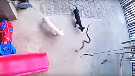 Dogs and the Snake