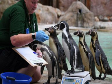 Penguins get on the scales