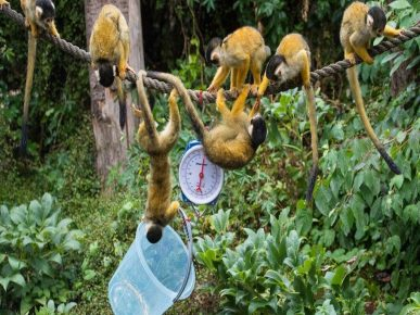 Squirrel monkeys are passionate about the process
