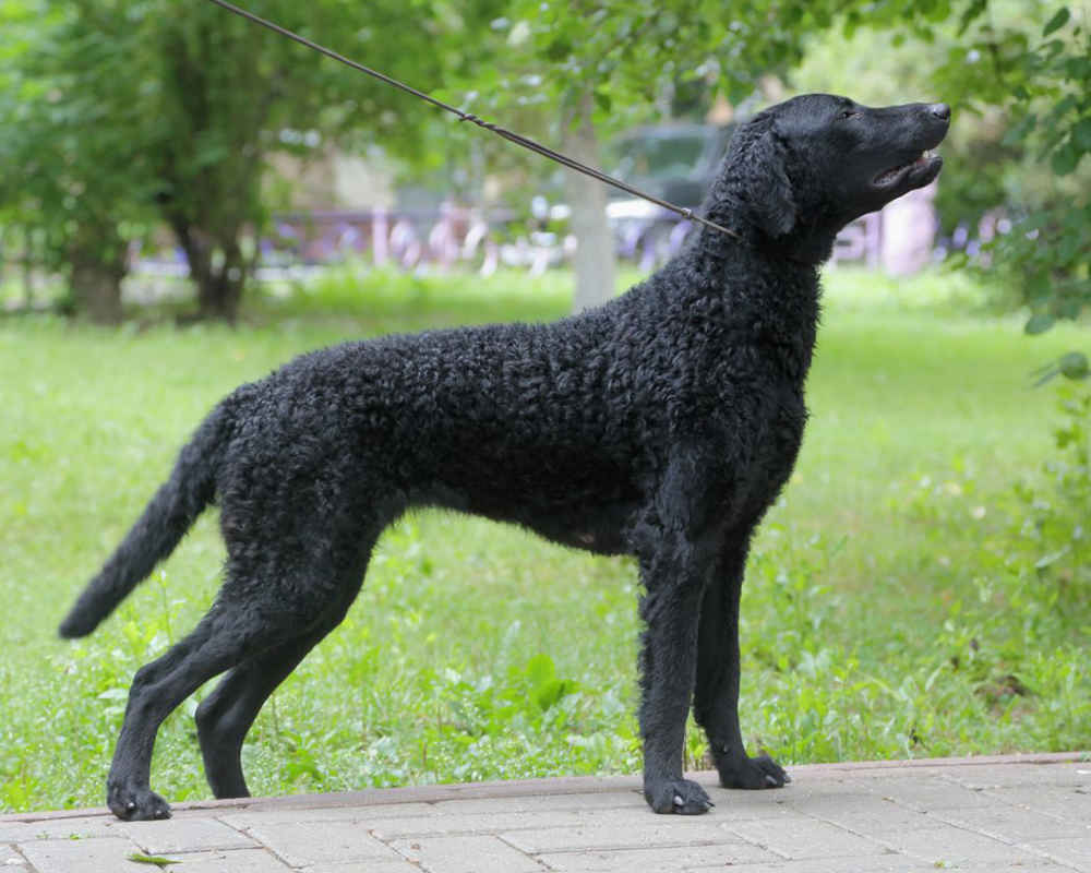 Curly Coated Retriever - photo