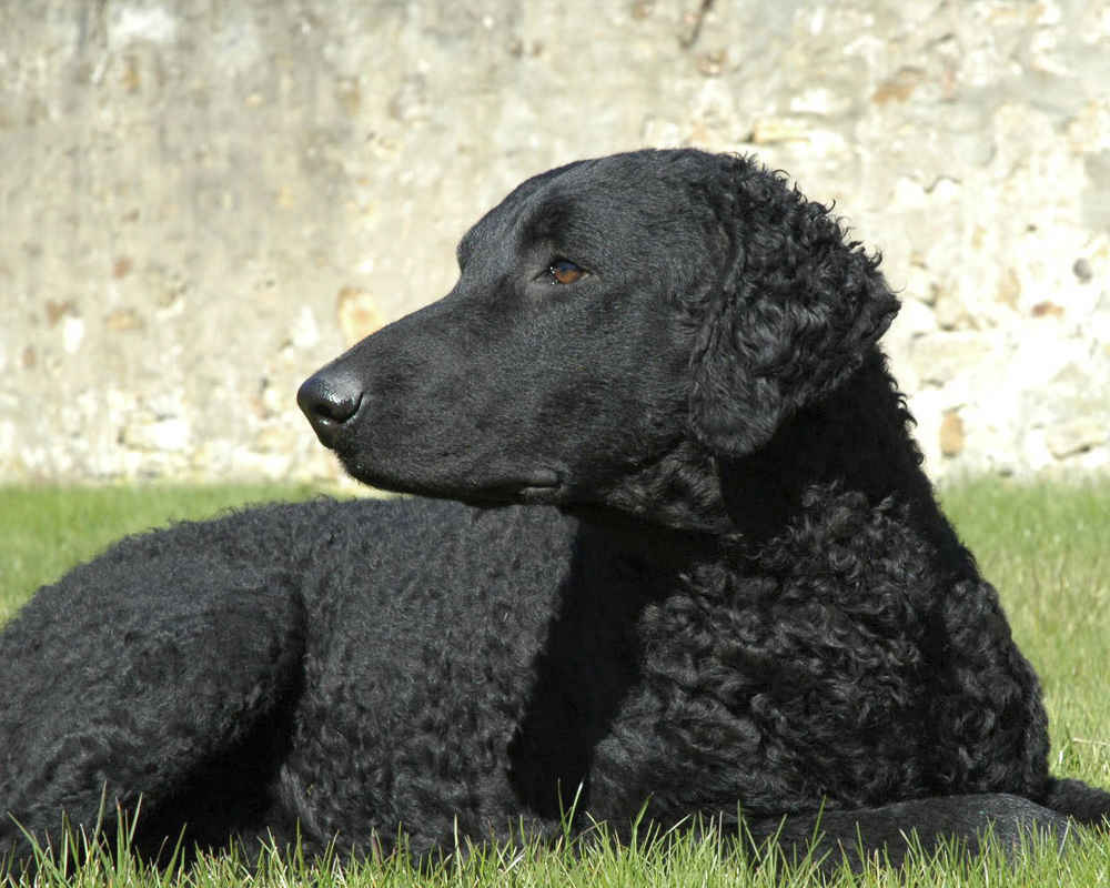 Black Curly Coated Retriever - photo