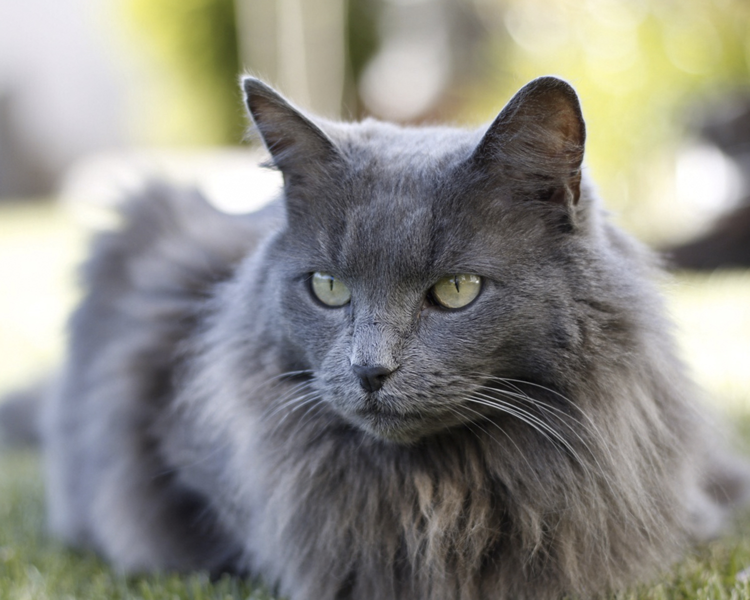 Nibelung Nebelung, Longhaired Russian Blue