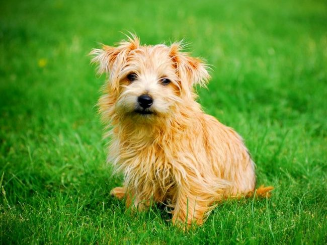 The Norfolk Terrier is a fun and active dog. Previously, it was used for burrowing, but now it is a great friend and loyal companion. Norfolk pleases the owners with good training indicators, it also captivates his flexible character and lively mind.