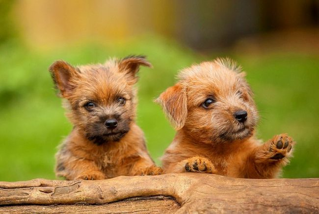 The Norfolk Terrier is prone to training, but he needs a steady hand of the owner, which will not give him a descent