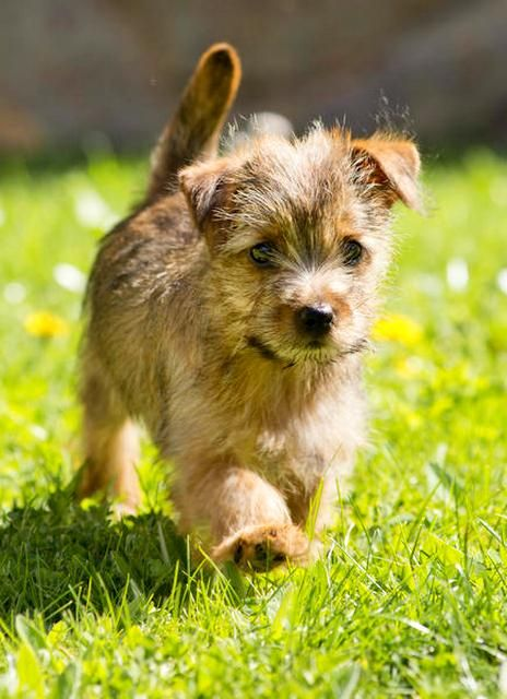 Hunting dogs are usually famous for their good health, and Norfolk Terrier is a strong and hardy dog.