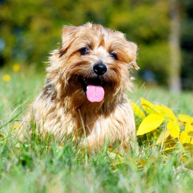 Norfolk Terrier will bring joy to your home