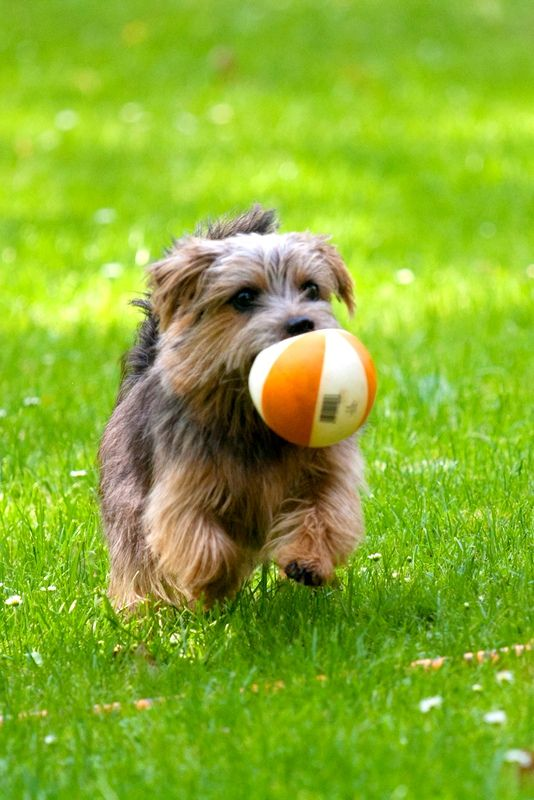 The dog Norfolk Terrier will be happy to participate in fun games. This dog will certainly make friends with children.