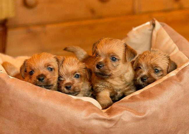 Experts advise choosing the strongest and most stately puppy out of the pack, such one will certainly grow up healthy and will proudly bear the title of Norfolk Terrier