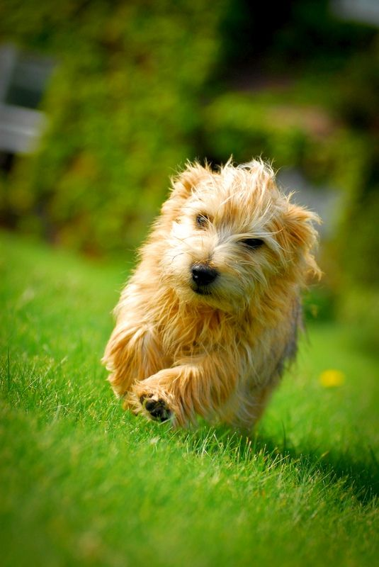 Walking for the Norfolk Terrier is my favorite pastime. The dog needs at least half an hour a day to engage in intensive walking or active games.
