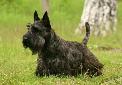 Scottish Terrier of brindle color