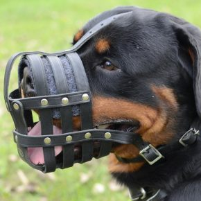 Rottweiler in the muzzle