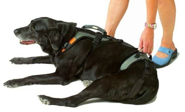 Breast-band for dogs photo