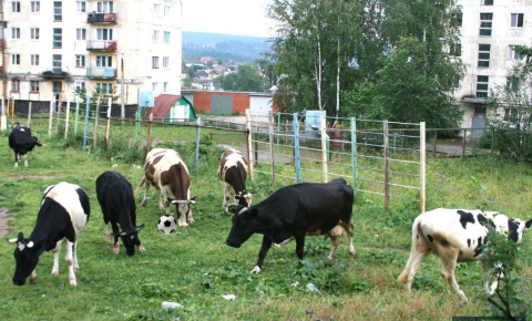 A herd of cows in the city