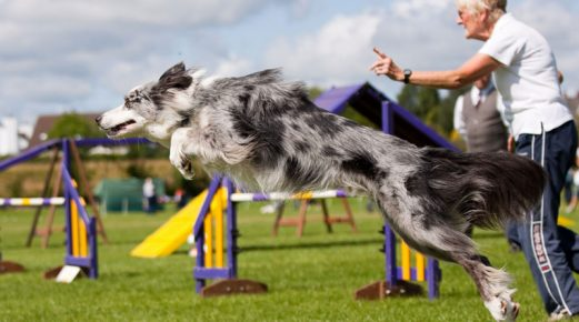 Border Collie in the competition