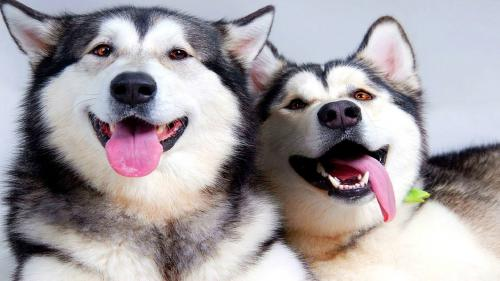 Is Husky Worth It: 10 Things That you need to know about the breed