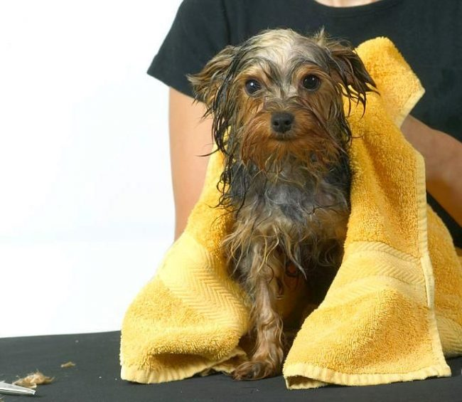 Wet your Yorkie's wool before starting a haircut.