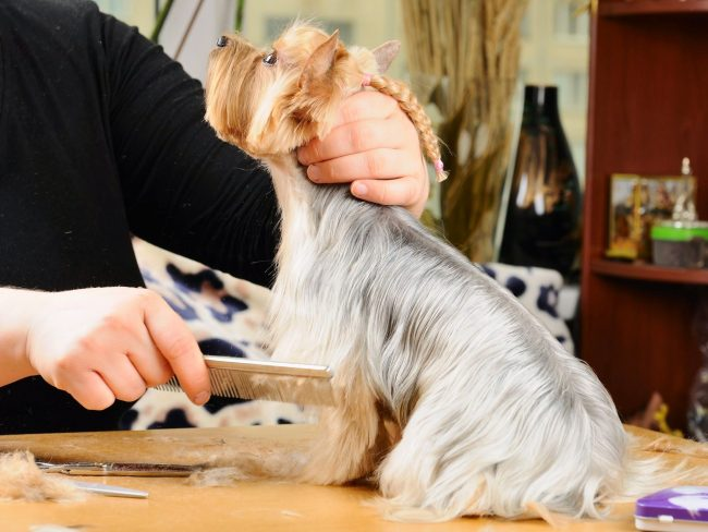 During the haircut in the salon, the owner should be in another room so that the dog does not get distracted or twitch at it.
