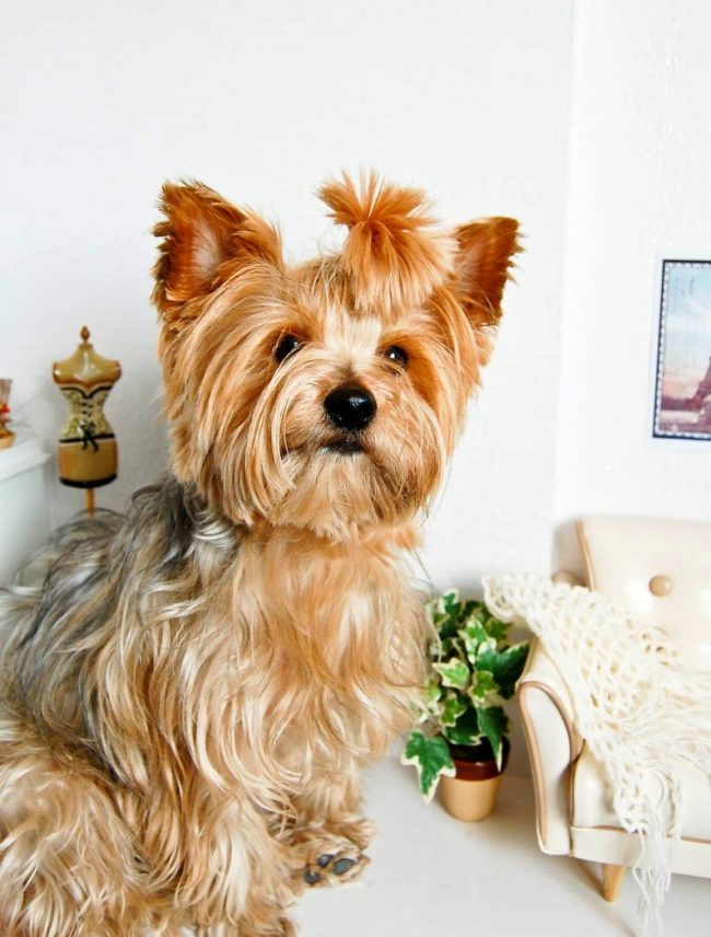 When choosing a hairstyle, you should consider the density and length of your pet's coat