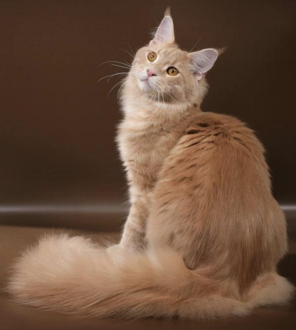 All colors of Maine Coon: photo with description