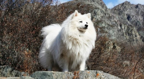 Japanese Spitz stands