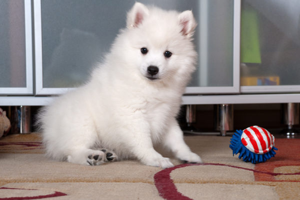 Japanese Spitz with a toy