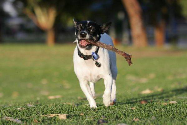 Japanese Terrier with a stick