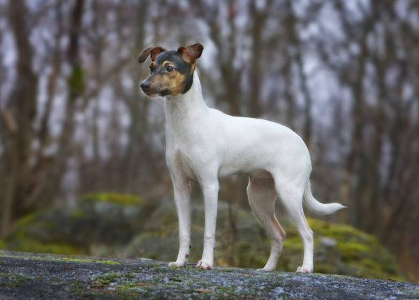 Japanese Terrier in the forest