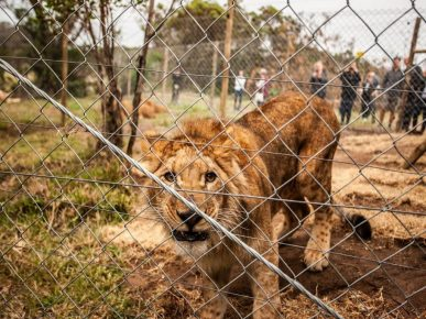 Unexpected freedom and a new life for three lionesses and a lion cub