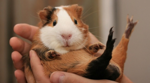 guinea pig in the hands